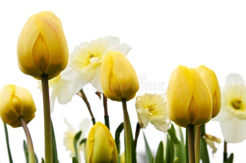 Tulips e daffodils no fundo branco imagens de stock