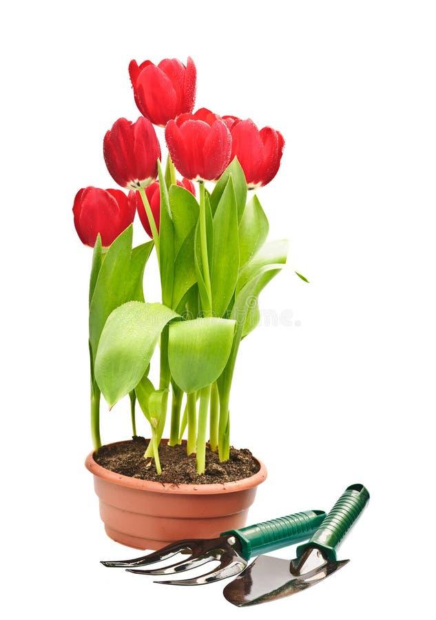 Tulips e ferramentas de jardinagem fotografia de stock