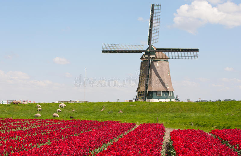 Tulips e moinho de vento foto de stock