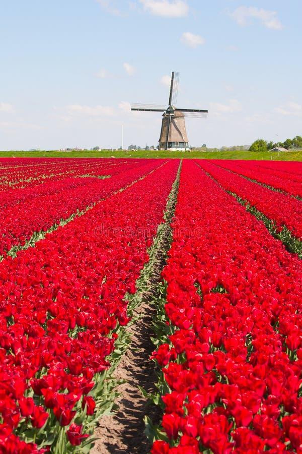 Tulips e moinho de vento fotos de stock