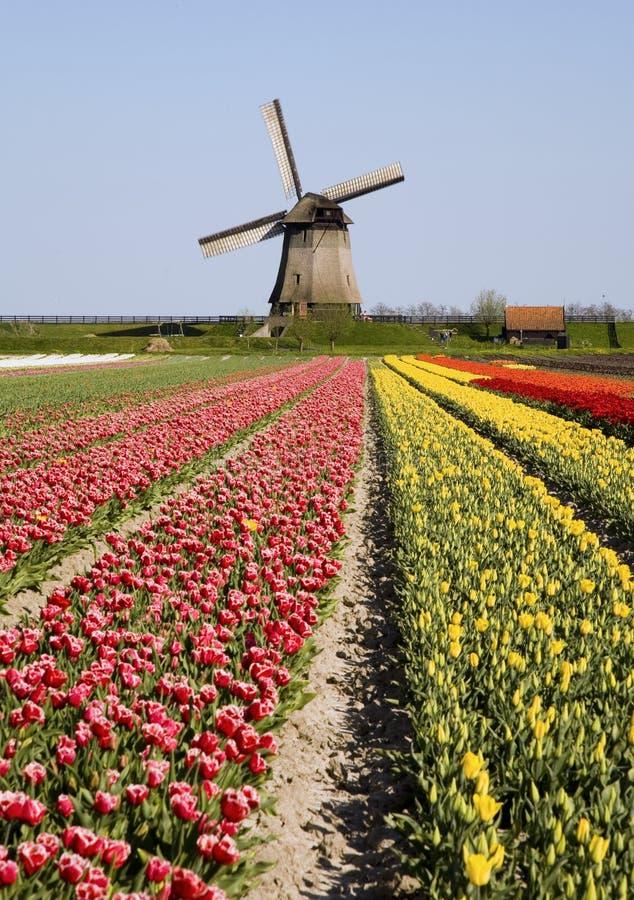 Tulips e moinho de vento 6 foto de stock