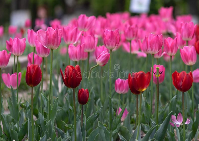 Tulips everywhere stock photography