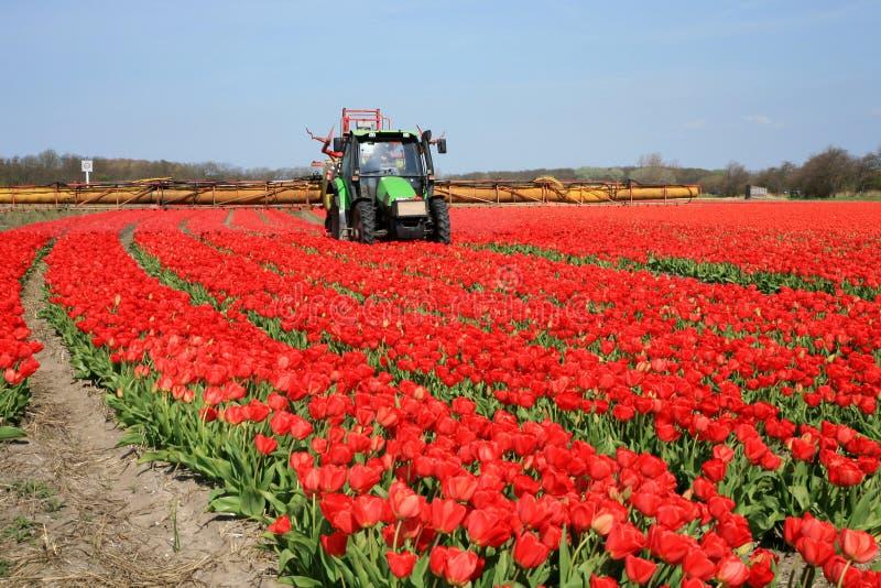 Tulips farm in Netherlands. stock photo