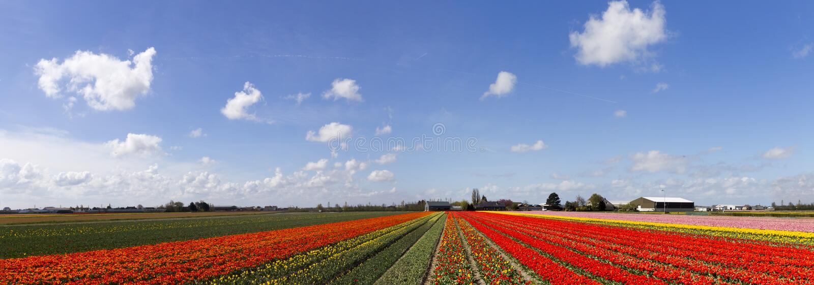 Tulips farm large panorama royalty free stock images