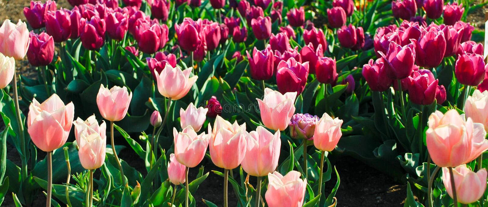Download Tulips Field stock image. Image of flower, lilac, nature - 14855263