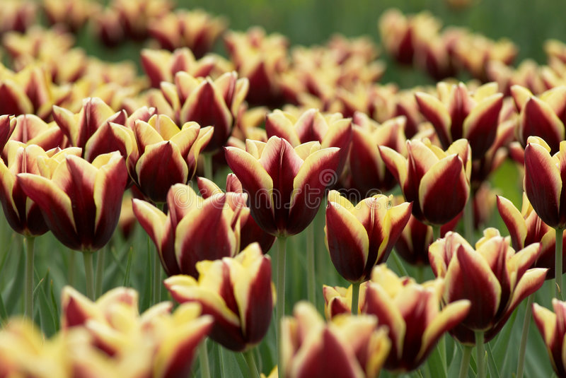Download Tulips field stock image. Image of leaf, blossom, morning - 2306057