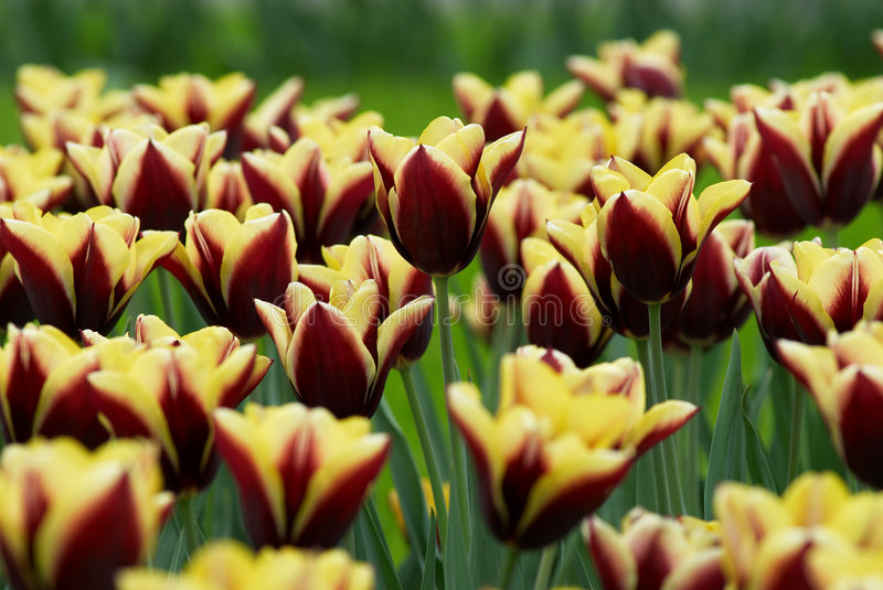 Download Tulips Field Stock Photos - Image: 2306133