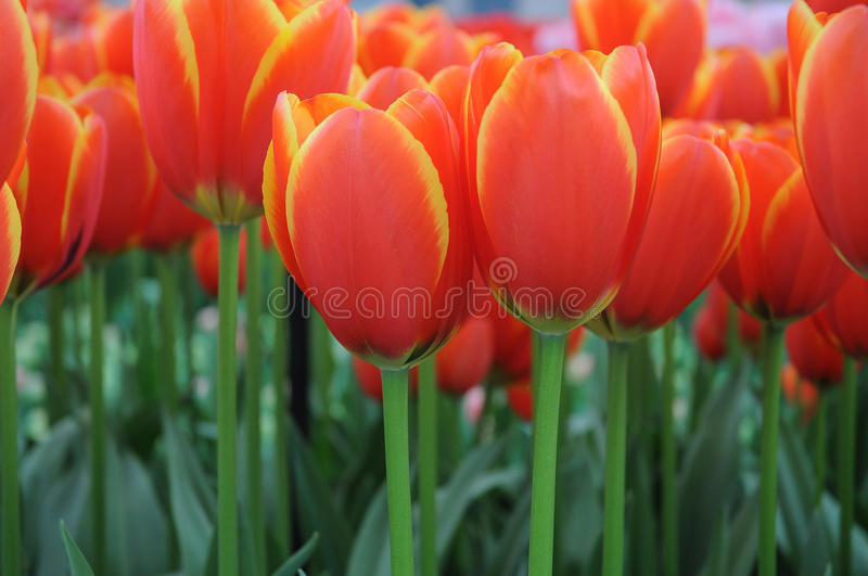 Tulips. Field with colorful tulips at bollenstreek in Netherlands royalty free stock photo