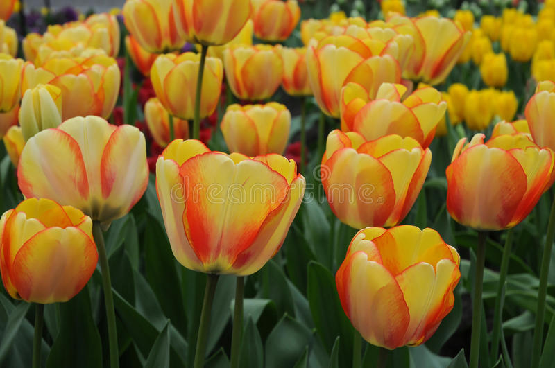 Tulips. Field with colorful tulips at bollenstreek in Netherlands stock images