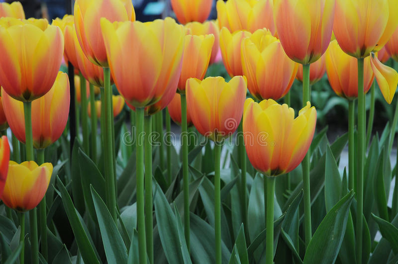 Tulips. Field with colorful tulips at bollenstreek in Netherlands stock photography