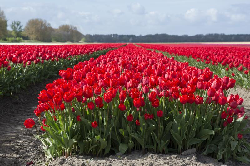 Tulips in a field in Flevoland in Holland. Colorful tulips in a field in Flevoland in Holland stock images