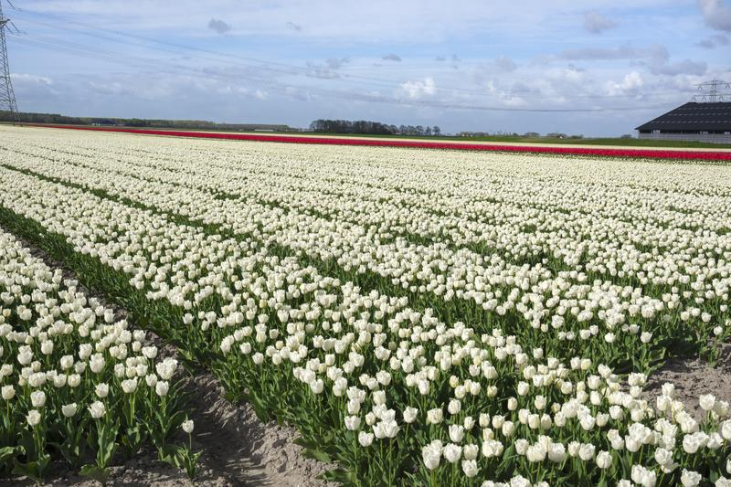 Tulips in a field in Flevoland in Holland. Colorful tulips in a field in Flevoland in Holland royalty free stock image
