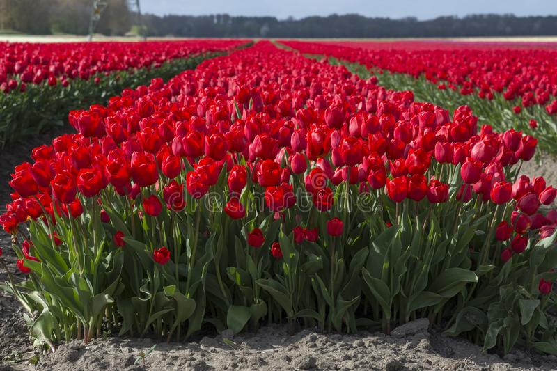 Tulips in a field in Flevoland in Holland. Colorful tulips in a field in Flevoland in Holland royalty free stock photos