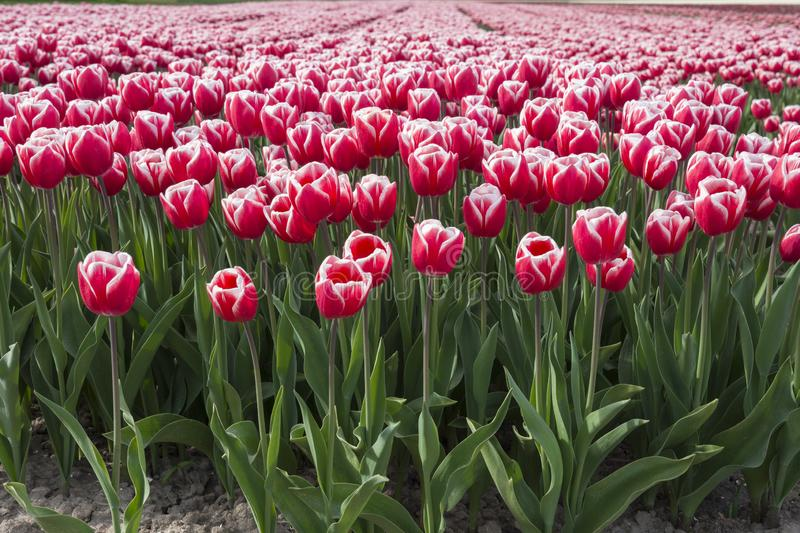 Tulips in a field in Flevoland in Holland. Colorful tulips in a field in Flevoland in Holland stock image