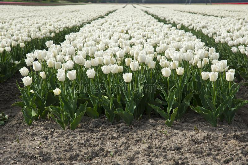 Tulips in a field in Flevoland in Holland. Colorful tulips in a field in Flevoland in Holland royalty free stock photography