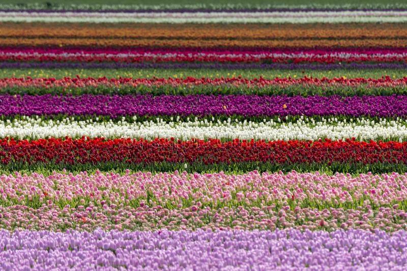 Tulips in a field in Flevoland in Holland. Colorful tulips in a field in Flevoland in Holland stock photos