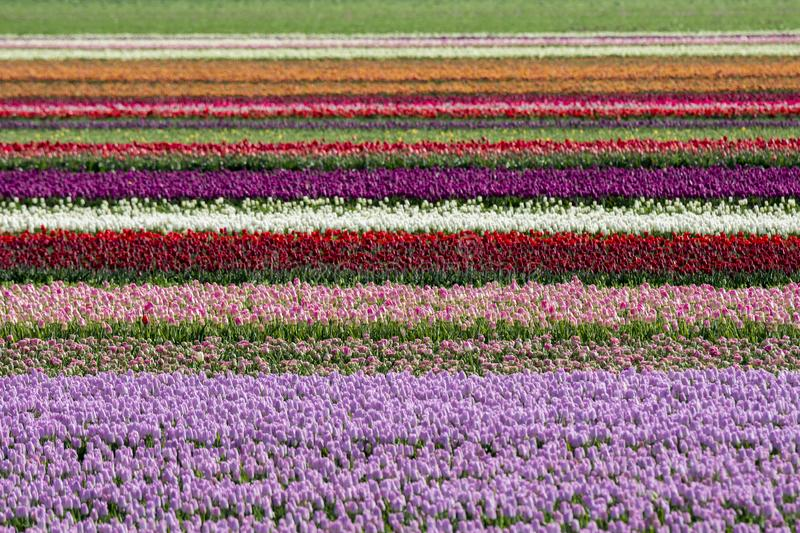 Tulips in a field in Flevoland in Holland. Colorful tulips in a field in Flevoland in Holland stock photo