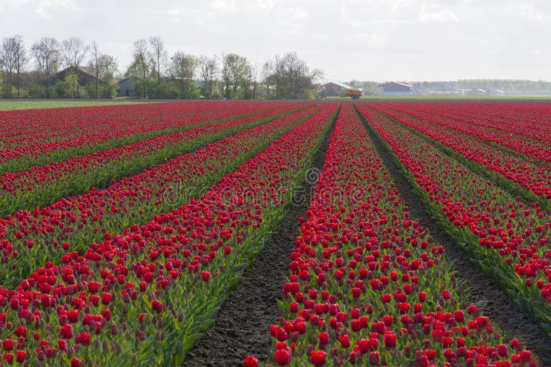 Tulips in a field in Flevoland in Holland. Colorful tulips in a field in Flevoland in Holland royalty free stock photo