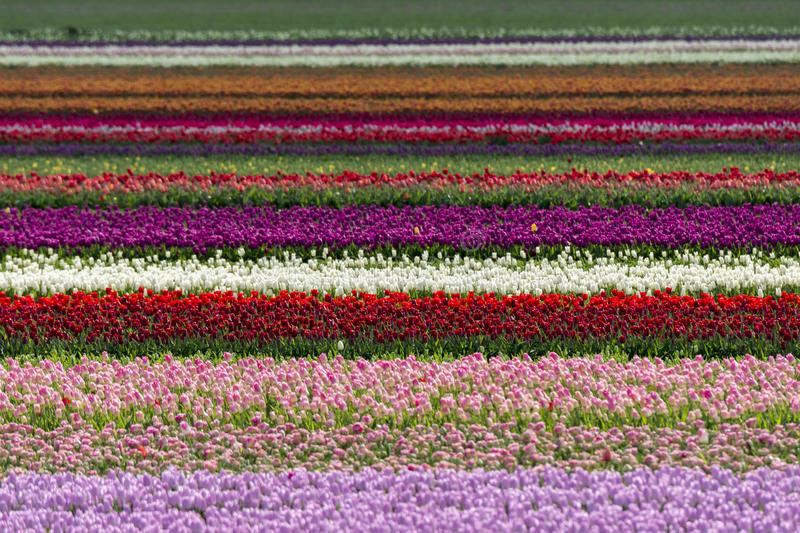 Tulips in a field in Flevoland in Holland. Colorful tulips in a field in Flevoland in Holland stock photography