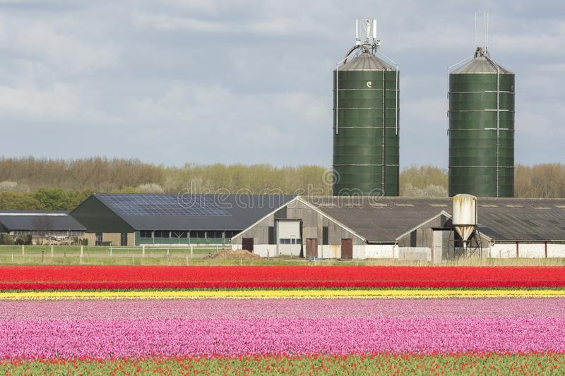 Tulips in a field in Flevoland in Holland. Colorful tulips in a field in Flevoland in Holland royalty free stock images