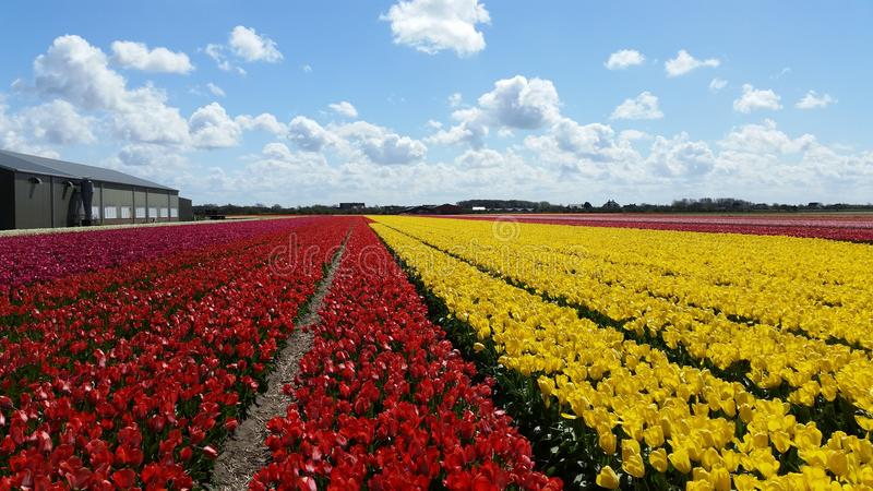 Tulips field in Holland royalty free stock photo