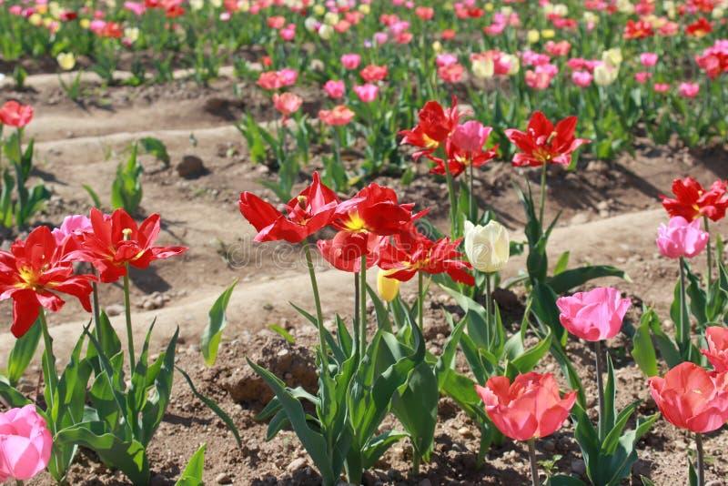 Tulips` field stock photos