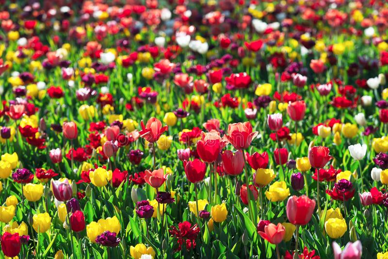 Tulips field in Netherlands. Tulips flowers field in spring Netherlands park. Nature photography royalty free stock image