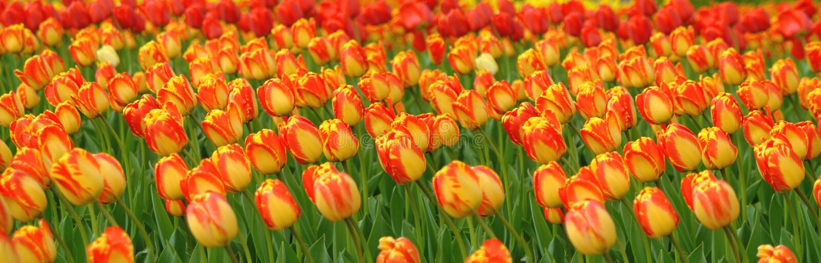 Download Tulips Field Panorama stock photo. Image of bloom, yellow - 735970