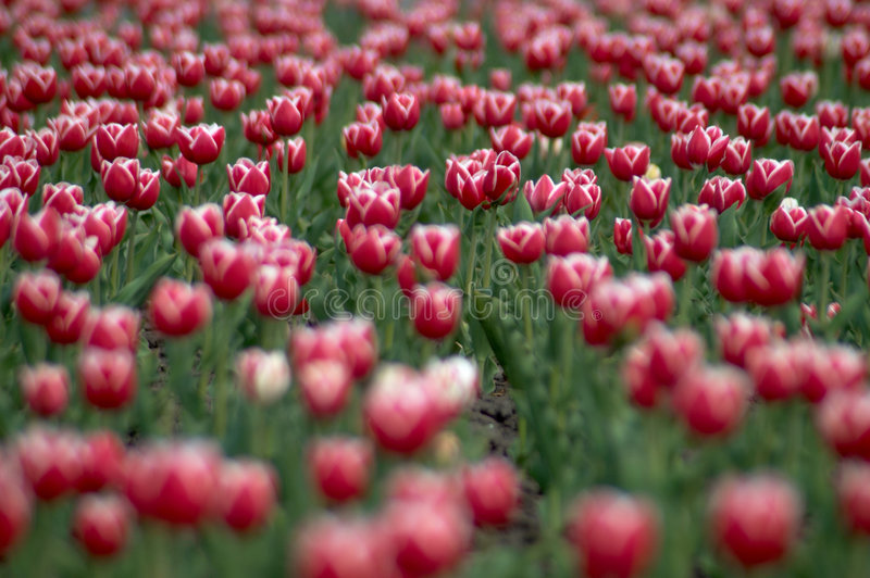 Download TULIPS FIELD V Stock Photography - Image: 2310622