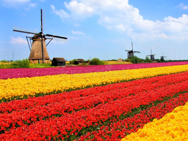 Tulips fields and windmills stock photo