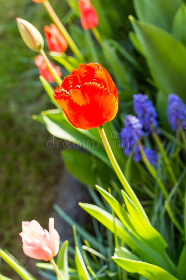 Tulips. First spring tulips in the sunshine royalty free stock image