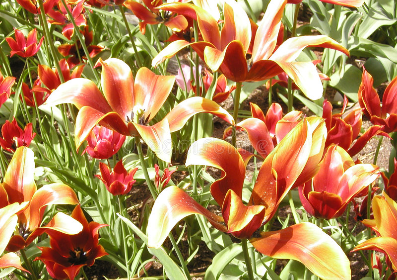 Tulips flamejantes foto de stock royalty free