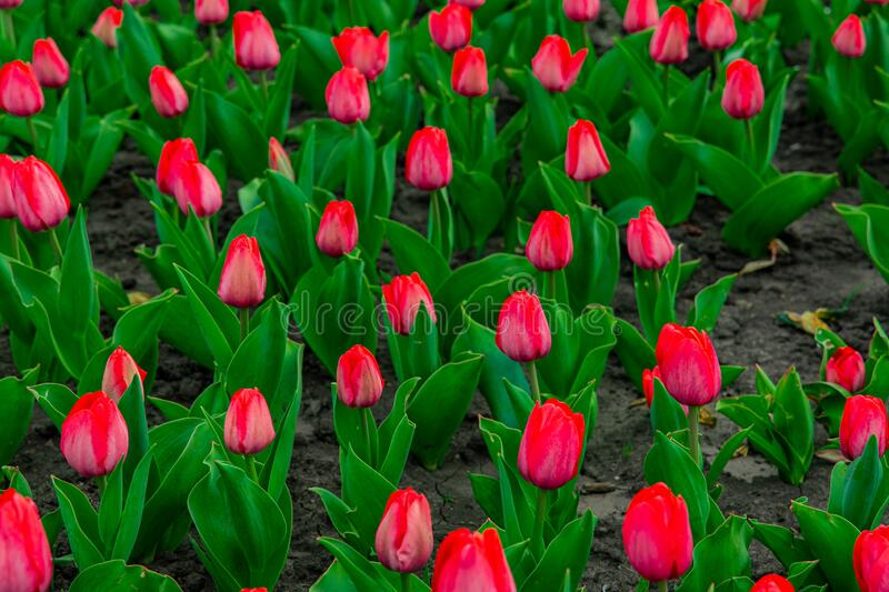 Tulips flower bed red buds and green foliage garden floral scenic view photography in summer bright day. Time royalty free stock images