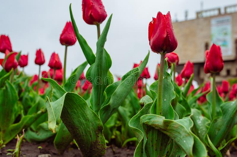 Tulips in the flower garden royalty free stock photography