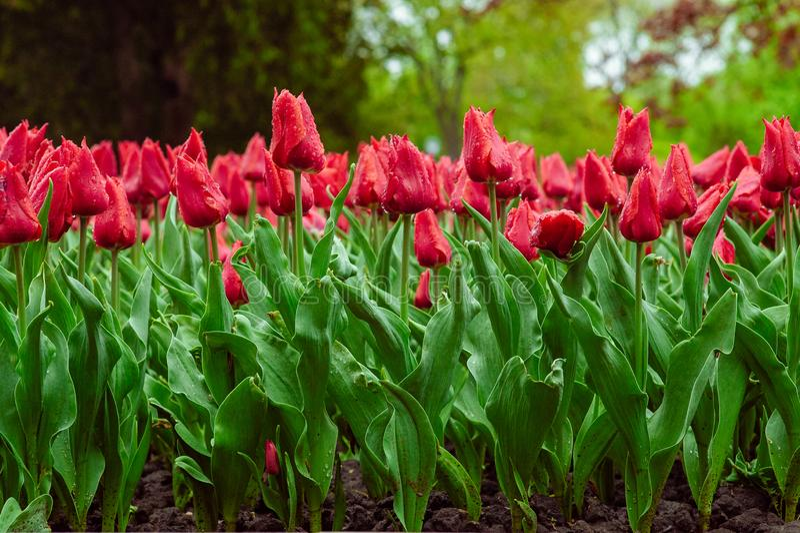 Tulips in the flower garden stock image
