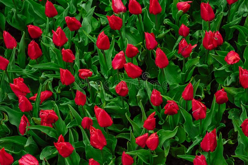 Tulips in the flower garden stock photo