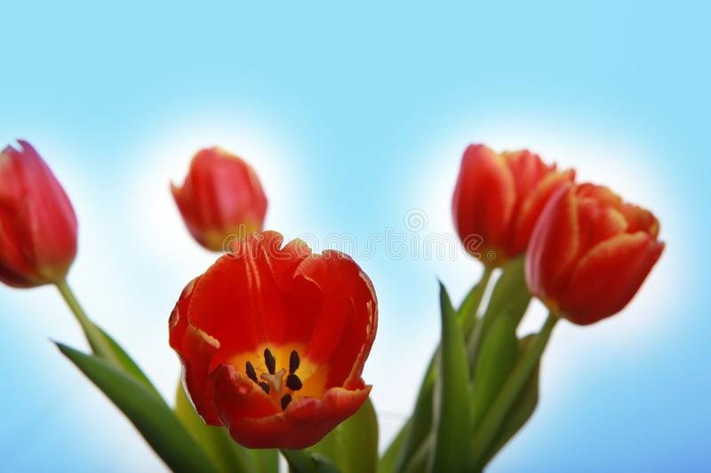 Tulips flowering in studio quality 8 March. Flower tulips in studio quality 8 March woman gift postcard stock photos