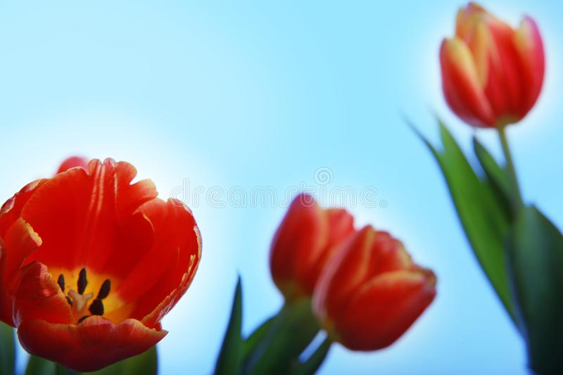 Tulips flowering in studio quality 8 March. Flower tulips in studio quality 8 March woman gift postcard stock photography