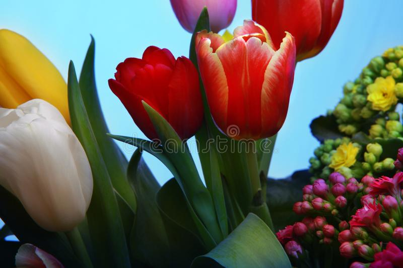 Tulips flowering in studio quality 8 March. Flower tulips in studio quality 8 March woman gift postcard royalty free stock images