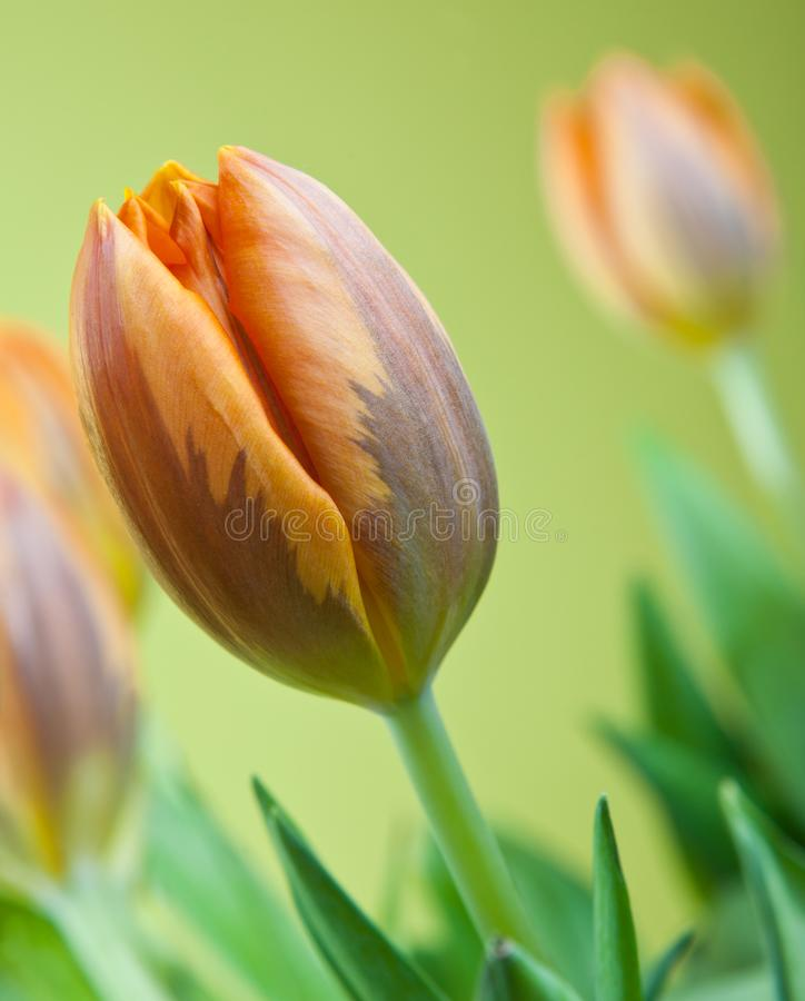 Tulips flowering in studio quality 8 March. Flower tulips in studio quality 8 March woman gift postcard royalty free stock image