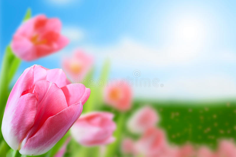 Tulips Flowers Royalty Free Stock Photography