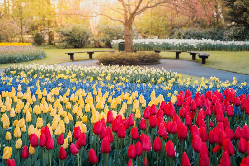 Tulips at Keukenhof gardens royalty free stock photo