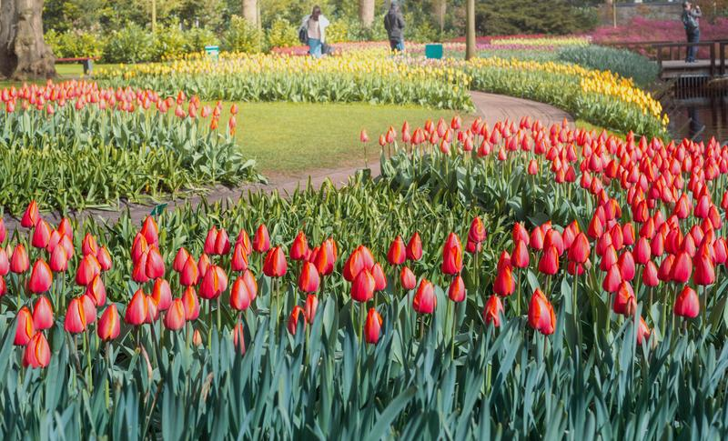 Tulips at Keukenhof gardens royalty free stock photography