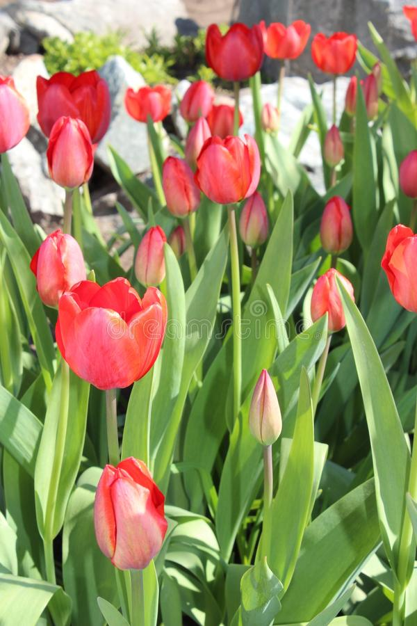Tulips flowers spring bloom in the garden royalty free stock photo
