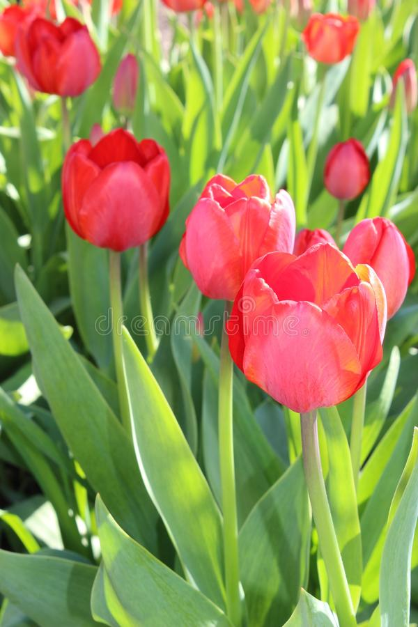 Tulips flowers spring bloom in the garden royalty free stock images