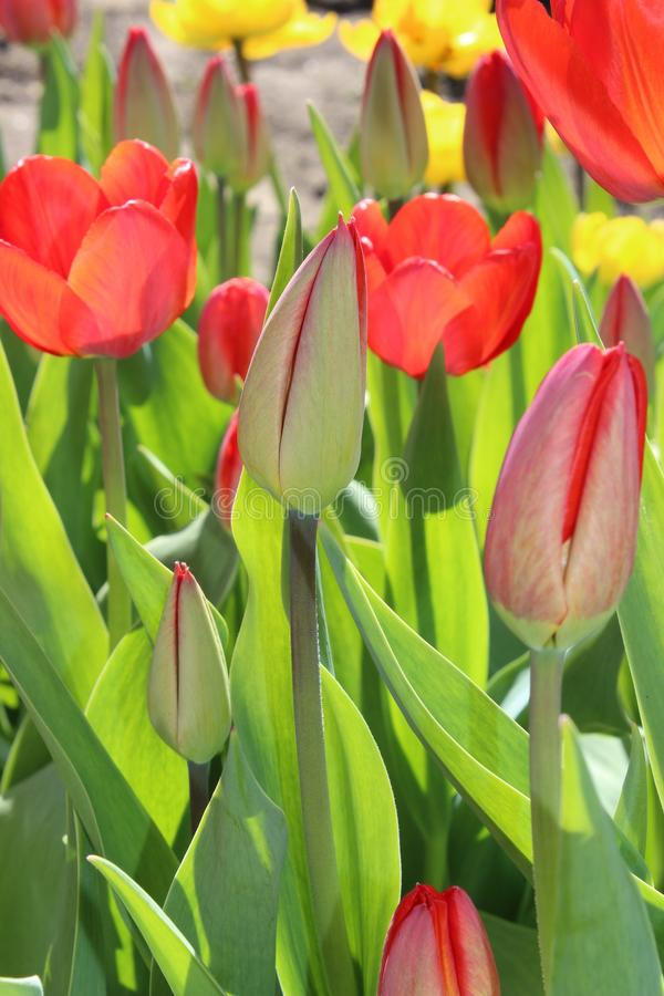 Tulips flowers spring bloom in the garden royalty free stock photography