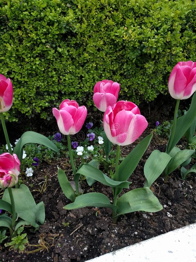 Tulips, flowers stock image