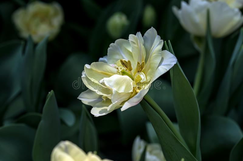 Blooming White Tulips with Bokeh Background. Tulips form a genus of spring-blooming perennial herbaceous bulbiferous geophytes. stock photography