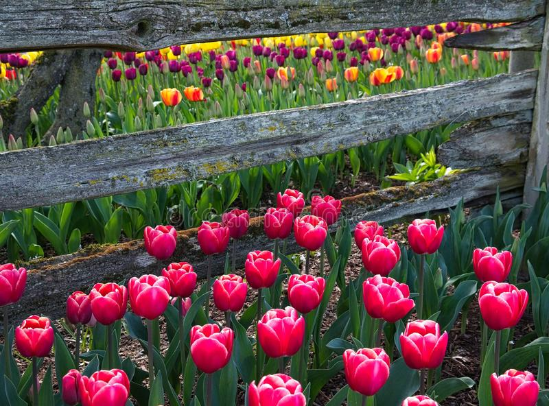 Tulips Frame a Split Rail Wood Fence stock image