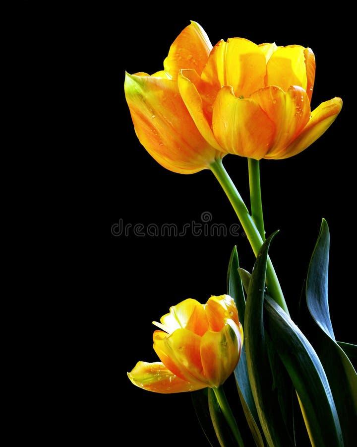 Tulips frescos imagens de stock